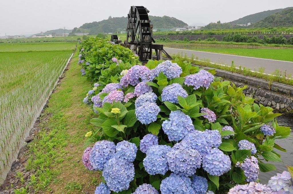 安並の水車と紫陽花.JPG